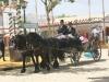Feria de Sevilla,Spain,Espagne,percheron horses (1)