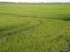 la-albufera-rice-fields-1-2