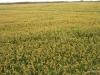 la-albufera-rice-fields