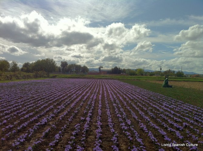 Harvesting of the saffron (3)