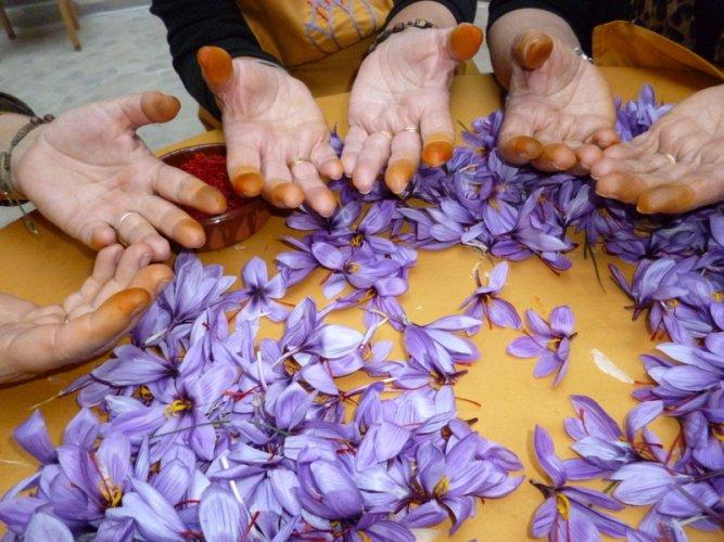 Pruning of Saffron (2)