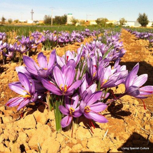 The saffron flower (1)