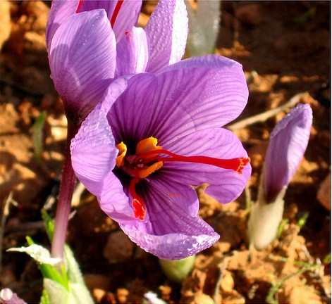 the-rose-of-saffron
