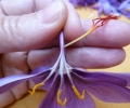 Pruning of Saffron (1)