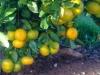 oranges-on-the-tree