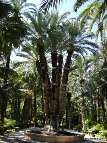 The Imperial Palm