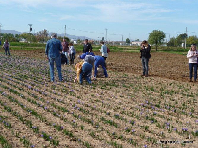 Harvesting of the saffron (2)