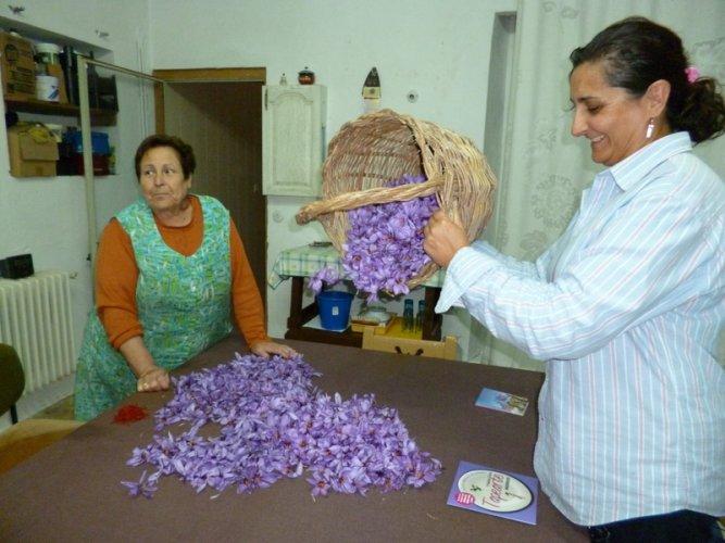 Spanish Saffron. La Mancha,Spain,Cultivation & harvesting (12)