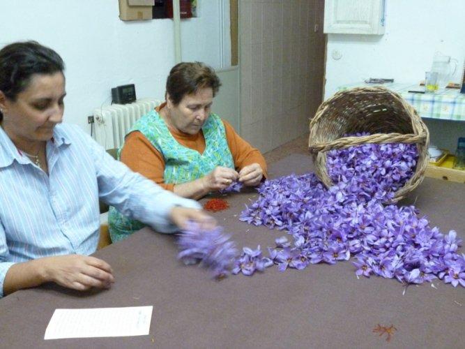 Spanish Saffron. La Mancha,Spain,Cultivation & harvesting (16)