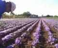 Harvesting of the saffron (4)